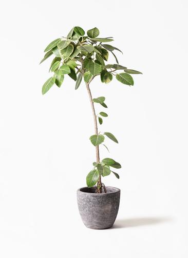 観葉植物 フィカス アルテシーマ 8号 ストレート アビスソニアミドル 灰 付き