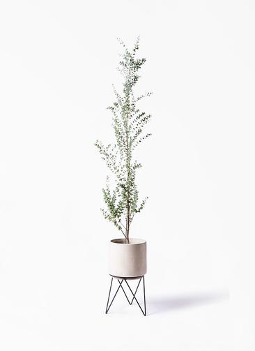 観葉植物 ユーカリ 8号 グニー ビトロ エンデカ 鉢カバースタンド付 クリーム 付き