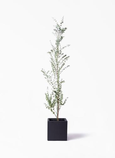 観葉植物 ユーカリ 8号 グニー ベータ キューブプランター 黒 付き
