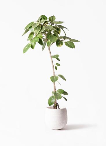 観葉植物 フィカス アルテシーマ 8号 ストレート エコストーンwhite 付き