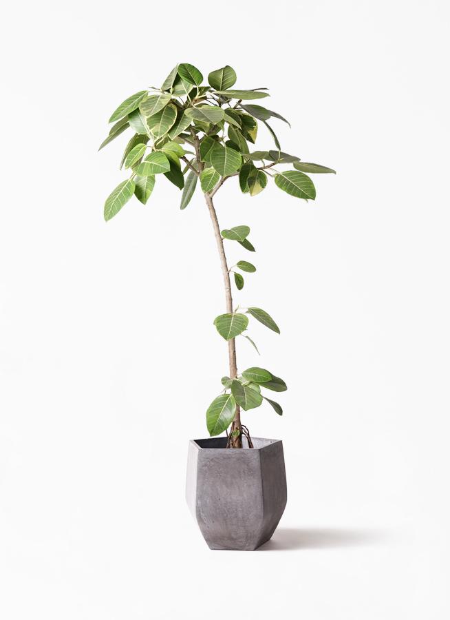観葉植物 フィカス アルテシーマ 8号 ストレート ファイバークレイ Gray 付き