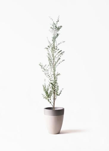 観葉植物 ユーカリ 8号 グニー ファイバーストーンカプリ サンディホワイト 付き