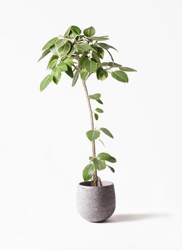 観葉植物 フィカス アルテシーマ 8号 ストレート エコストーンGray 付き