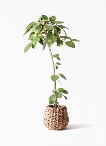 観葉植物 フィカス アルテシーマ 8号 ストレート ラッシュバスケット Natural 付き