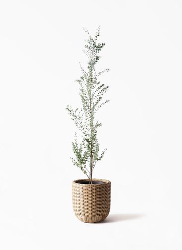 観葉植物 ユーカリ 8号 グニー ウィッカーポットエッグ ベージュ 付き