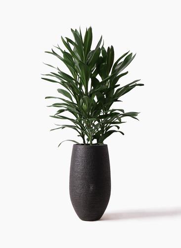 観葉植物 ドラセナ グローカル 8号 フォンティーヌトール 黒 付き