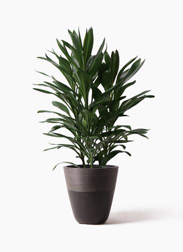 観葉植物 ドラセナ グローカル 8号 ジュピター 黒 付き