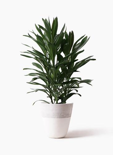 観葉植物 ドラセナ グローカル 8号 ジュピター 白 付き