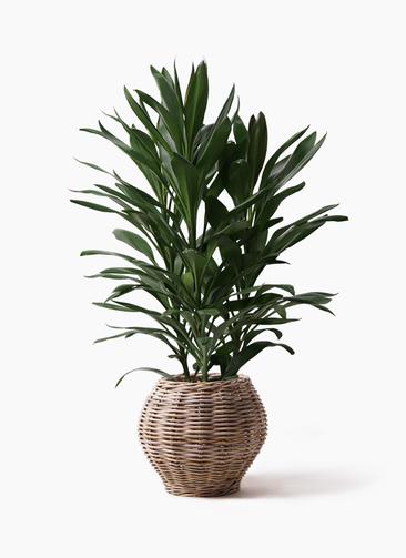 観葉植物 ドラセナ グローカル 8号 グレイラタン 付き