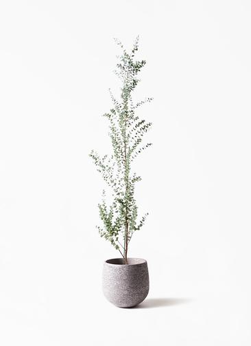 観葉植物 ユーカリ 8号 グニー エコストーンGray 付き
