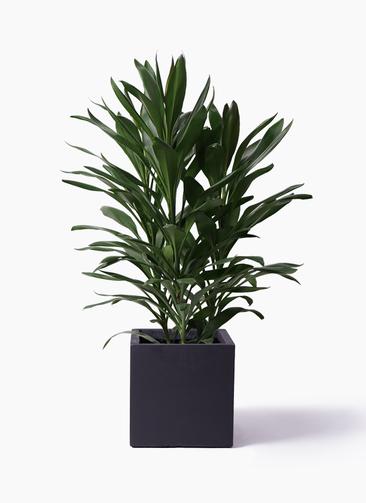 観葉植物 ドラセナ グローカル 8号 ベータ キューブプランター 黒 付き