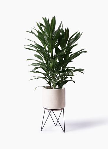 観葉植物 ドラセナ グローカル 8号 ビトロ エンデカ 鉢カバースタンド付 クリーム 付き