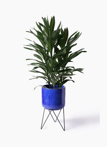 観葉植物 ドラセナ グローカル 8号 ビトロ エンデカ 鉢カバースタンド付 ブルー 付き