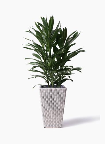 観葉植物 ドラセナ グローカル 8号 ウィッカーポット スクエアロング OT 白 付き