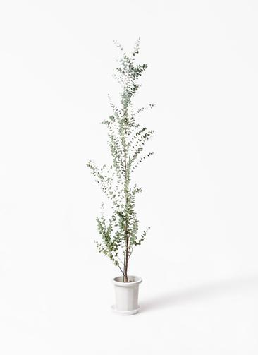 観葉植物 ユーカリ 8号 グニー プラスチック鉢