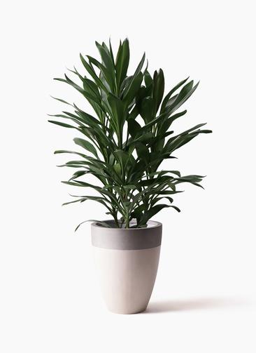 観葉植物 ドラセナ グローカル 8号 ファイバーストーンカプリ サンディホワイト 付き
