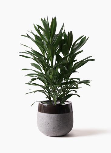観葉植物 ドラセナ グローカル 8号 ファイバーストーンタウルス 黒 付き