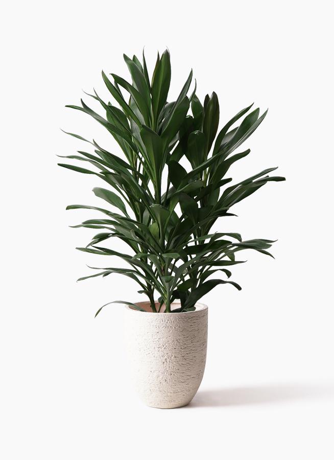 観葉植物 ドラセナ グローカル 8号 ビアスアルトエッグ 白 付き