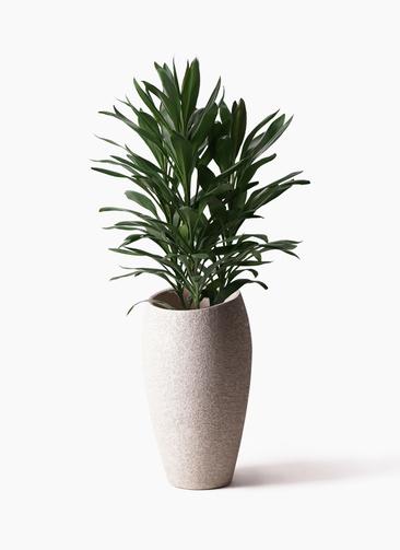 観葉植物 ドラセナ グローカル 8号 エコストーントールタイプ Light Gray 付き