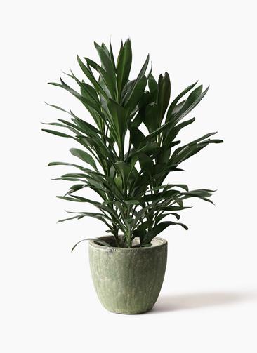 観葉植物 ドラセナ グローカル 8号 アビスソニアミドル 緑 付き