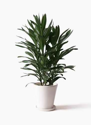観葉植物 ドラセナ グローカル 8号 サブリナ 白 付き