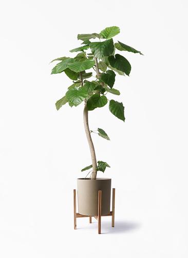 観葉植物 フィカス ウンベラータ 8号 曲り ホルスト シリンダー オリーブ ウッドポットスタンド付き