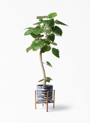 観葉植物 フィカス ウンベラータ 8号 曲り ホルスト シリンダー マーブル ウッドポットスタンド付き