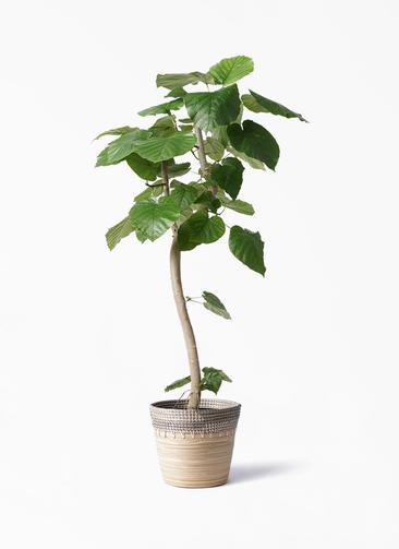 観葉植物 フィカス ウンベラータ 8号 曲り アルマ コニック 白 付き