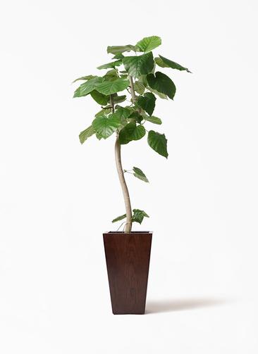 観葉植物 フィカス ウンベラータ 8号 曲り MOKU スクエア 付き