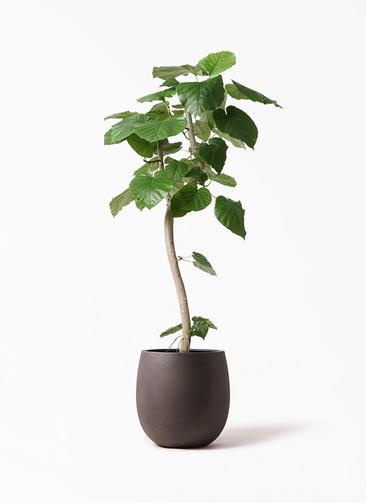 観葉植物 フィカス ウンベラータ 8号 曲り テラニアス バルーン アンティークブラウン 付き