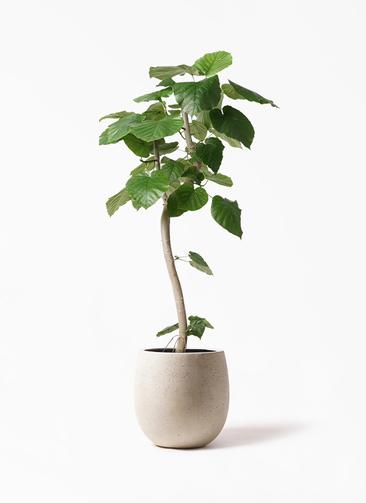 観葉植物 フィカス ウンベラータ 8号 曲り テラニアス バルーン アンティークホワイト 付き