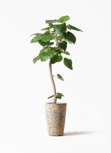 観葉植物 フィカス ウンベラータ 8号 曲り アトランティス クルーシブル 付き