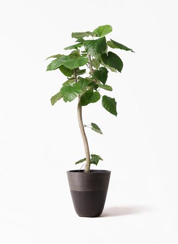 観葉植物 フィカス ウンベラータ 8号 曲り ジュピター 黒 付き