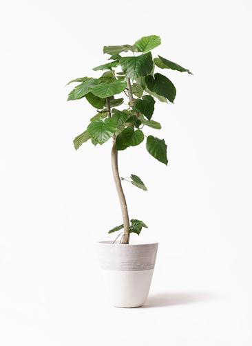 観葉植物 フィカス ウンベラータ 8号 曲り ジュピター 白 付き