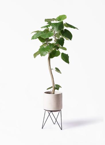 観葉植物 フィカス ウンベラータ 8号 曲り ビトロ エンデカ 鉢カバースタンド付 クリーム 付き