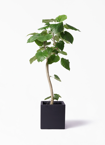 観葉植物 フィカス ウンベラータ 8号 曲り ベータ キューブプランター 黒 付き