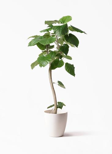 観葉植物 フィカス ウンベラータ 8号 曲り ラスターポット 付き