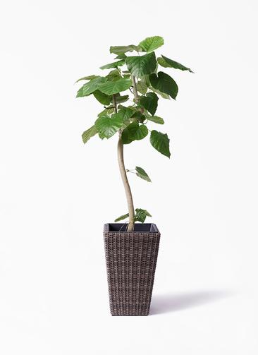 観葉植物 フィカス ウンベラータ 8号 曲り ウィッカーポット スクエアロング OT 茶 付き