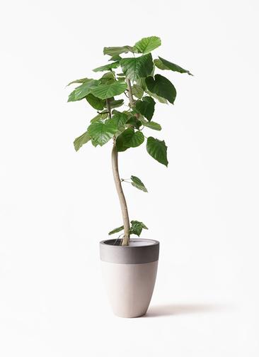 観葉植物 フィカス ウンベラータ 8号 曲り ファイバーストーンカプリ サンディホワイト 付き