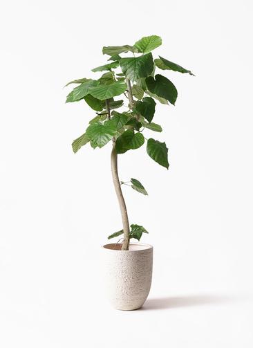 観葉植物 フィカス ウンベラータ 8号 曲り ビアスアルトエッグ 白 付き