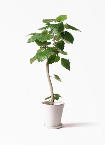 観葉植物 フィカス ウンベラータ 8号 曲り サブリナ 白 付き