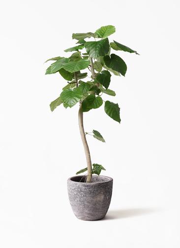 観葉植物 フィカス ウンベラータ 8号 曲り アビスソニアミドル 灰 付き