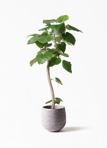観葉植物 フィカス ウンベラータ 8号 曲り エコストーンGray 付き