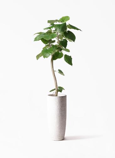 観葉植物 フィカス ウンベラータ 8号 曲り エコストーントールタイプ white 付き