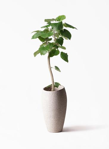 観葉植物 フィカス ウンベラータ 8号 曲り エコストーントールタイプ Light Gray 付き