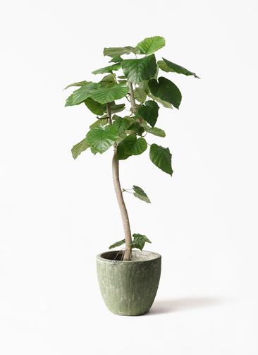 観葉植物 フィカス ウンベラータ 8号 曲り アビスソニアミドル 緑 付き