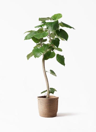 観葉植物 フィカス ウンベラータ 8号 曲り リブバスケットNatural 付き