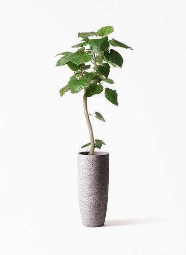 観葉植物 フィカス ウンベラータ 8号 曲り エコストーントールタイプ Gray 付き