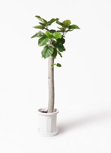 観葉植物 フィカス ウンベラータ 10号 朴 プラスチック鉢