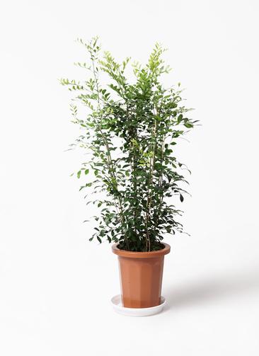 観葉植物 シルクジャスミン(げっきつ) 8号 プラスチック鉢